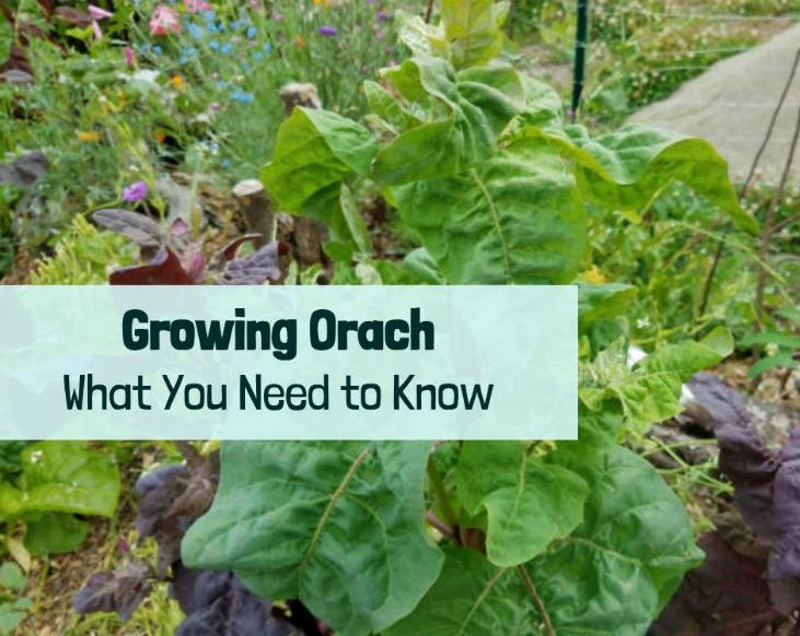 Grow orach