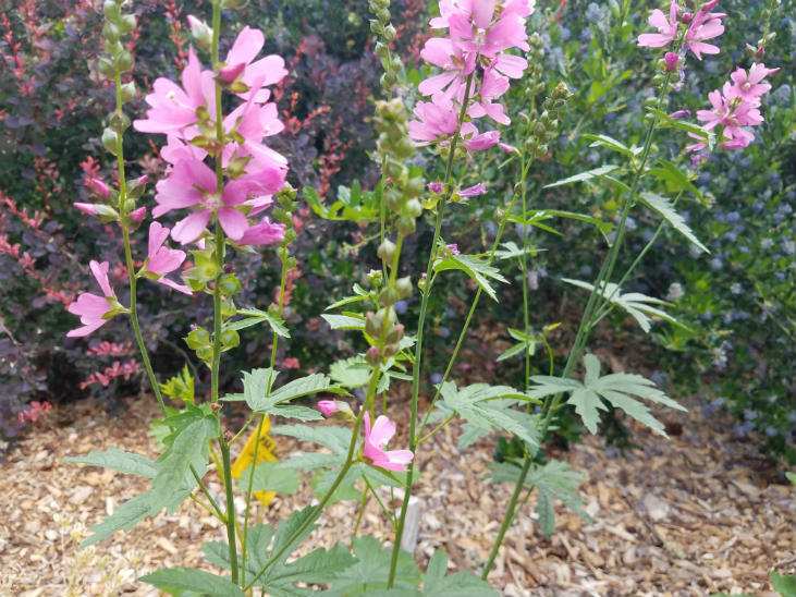 Find native plants like this checker mallow