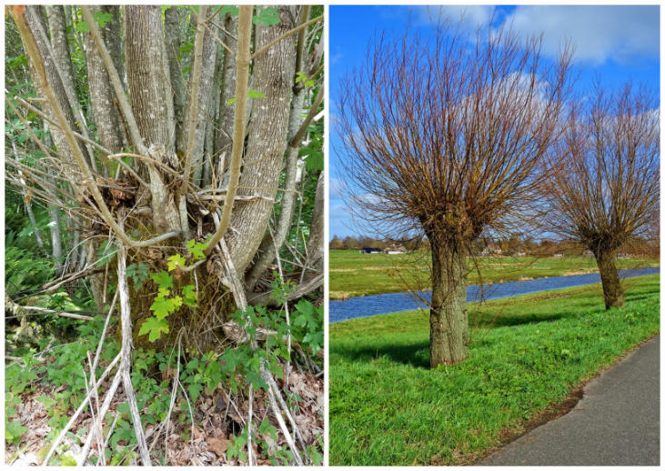 What is the difference between coppicing and pollarding?