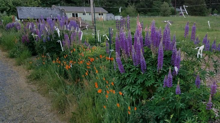 Control garden pests by attracting beneficial insects with native flowers