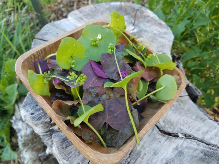 Mild perennial greens are great in salads
