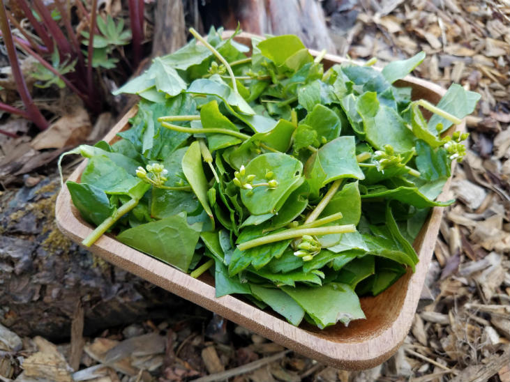 Native wild vegetables are a great wild food