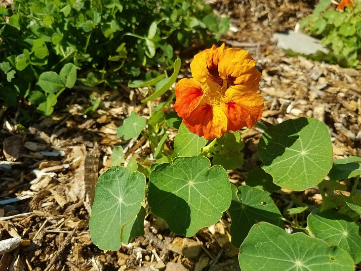 Nustrusiums like other annual plants are a core part of a garden