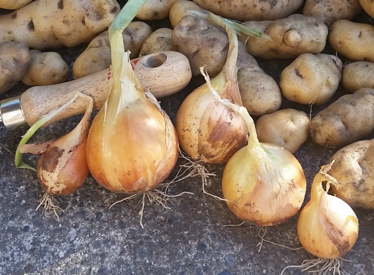 Onions are biennial vegetables