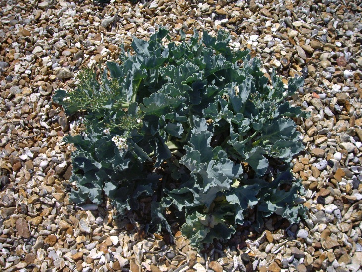 Sea kale is a great perennial vegetable
