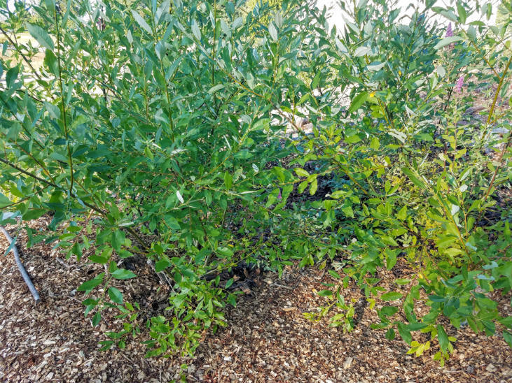 Use willows to clean water runoff