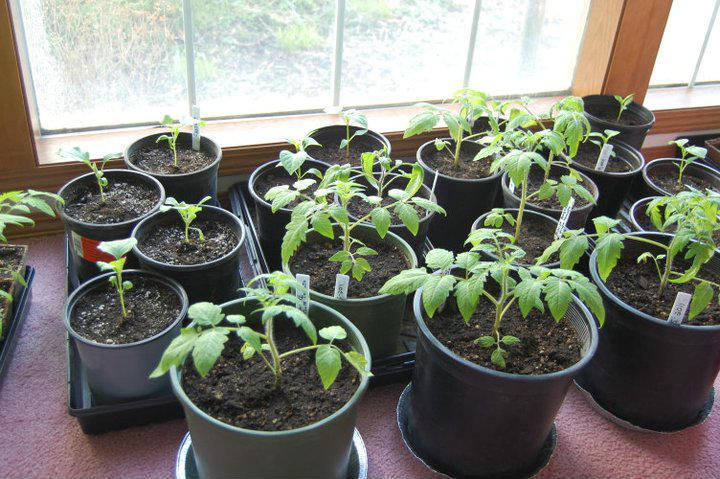 Transplanting vegetable starts is a great way to plant a garden