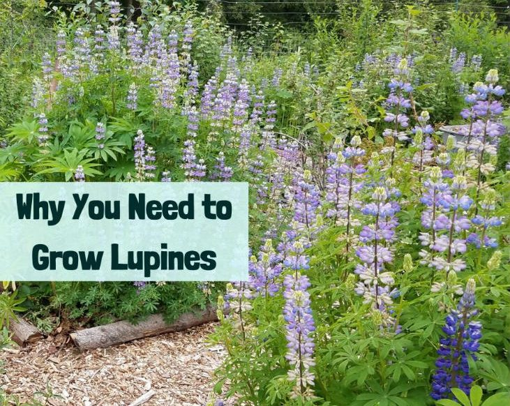 Grow lupines