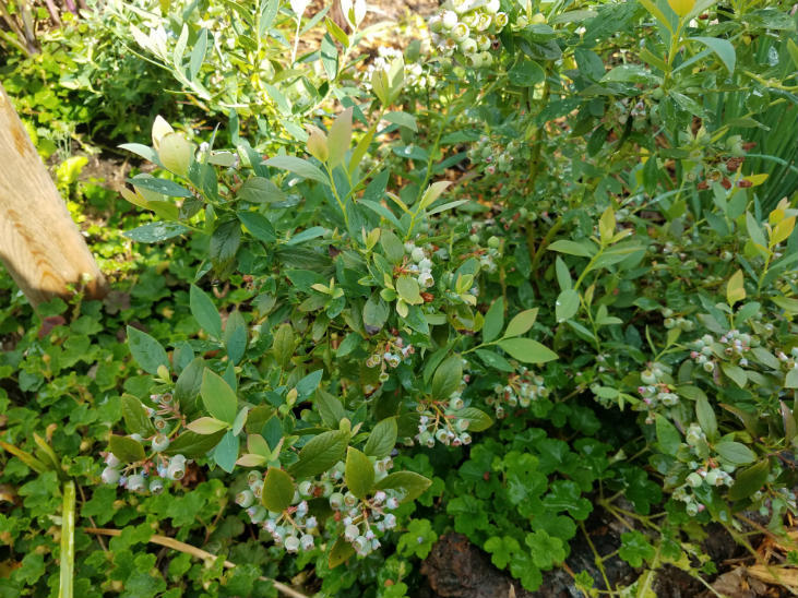 Blueberries can grow in your shrub layer