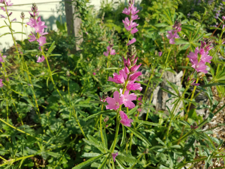 Grow native vegetables around the shrubs in your shrub layer