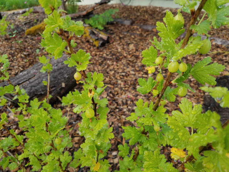 Gooseberries are a great addition to your shrub layer