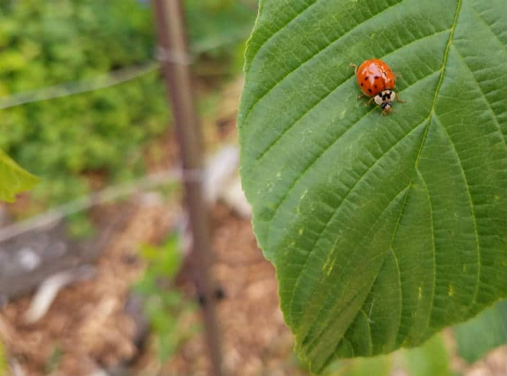 Attract predators like ladybugs to deal with small garden pests