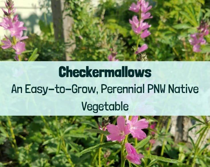 Checkermallows an easy-to-grow, perennial PNW Native Vegetable