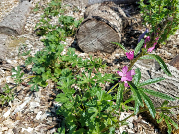 Growing checkerblooms in a young food forest