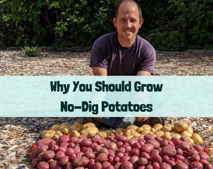 Why you should grow no-dig potatoes