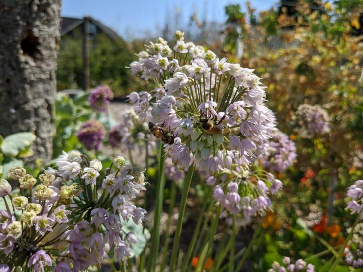 Perennial plants help build soil - this nodding onion is an example
