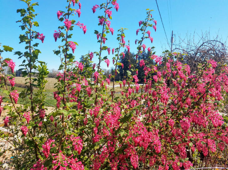 Red flowering currants really brighten up spring days