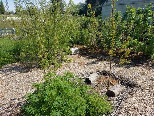 Grow perennial foods with a fruit tree guild