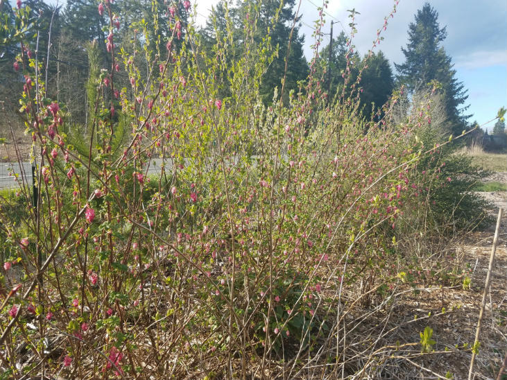 Osoberries are a great native plant for early spring beauty