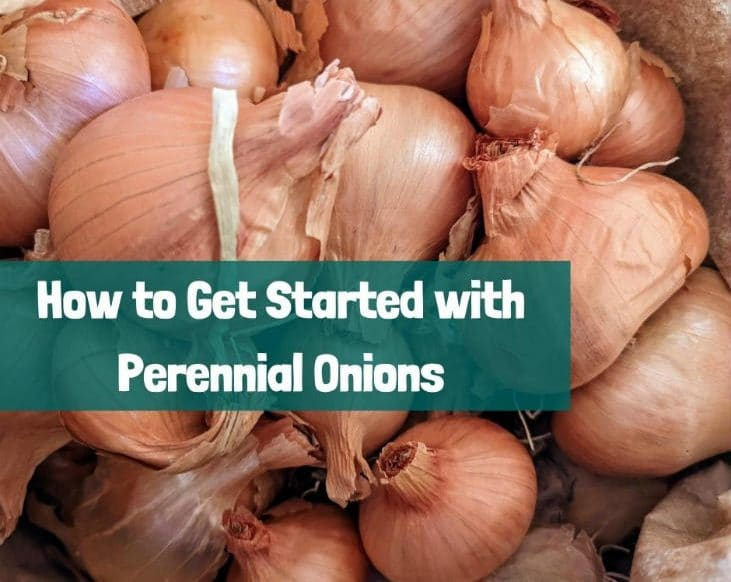 Get started with perennial onions