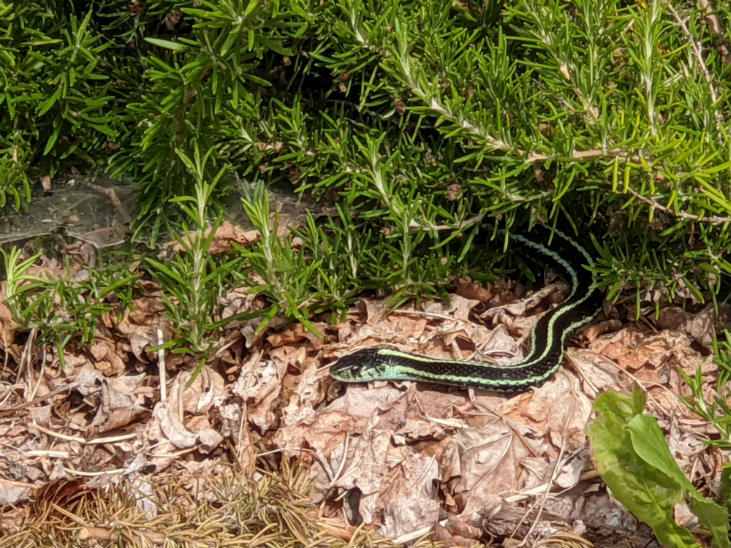 Garter snakes need open space to sun themselves