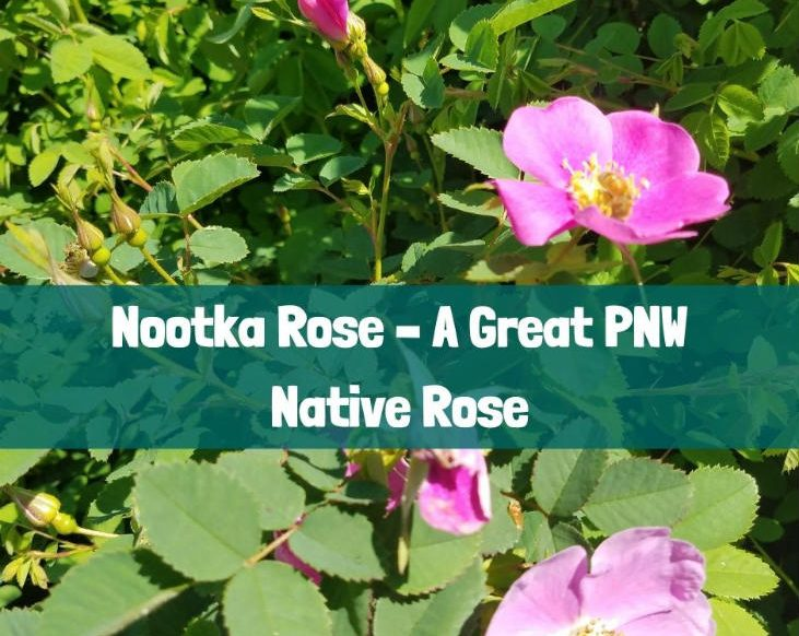 Nootka rose is a great PNW native rose