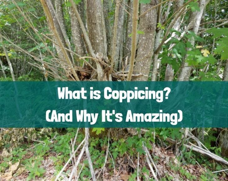 What is coppicing? (And why it's amazing.)
