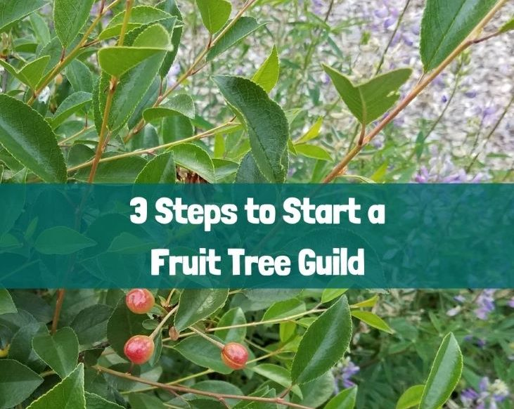 3 steps to start a fruit tree guild