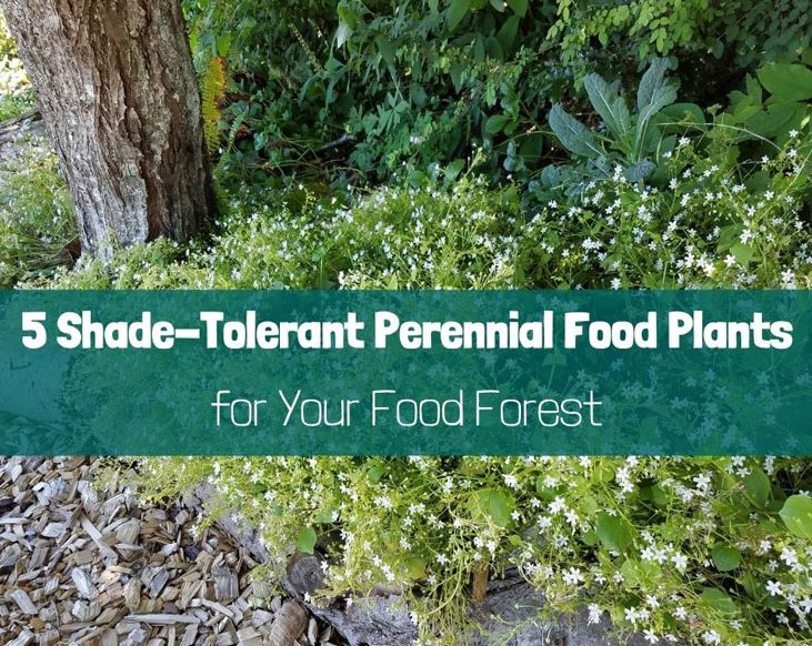 Here are 5 shade-tolerant perennial food plants for your food forest