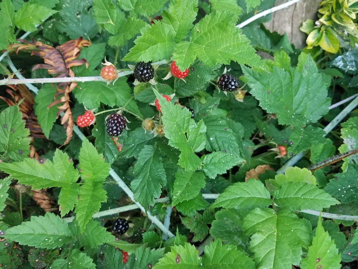Trailing Pacific blackberries are a great shade-tolerant perennial food plant for your food forest