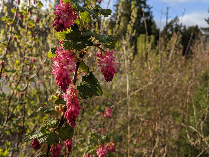 Support native pollinators with early spring blooms like red flowering currants