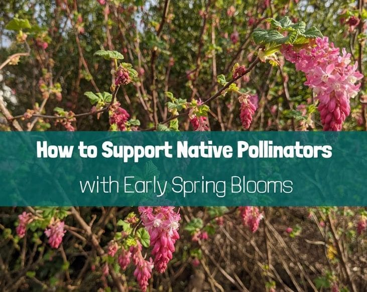Support native pollinators with early spring blooms
