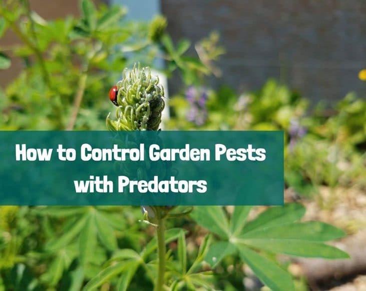 Control garden pests with predators