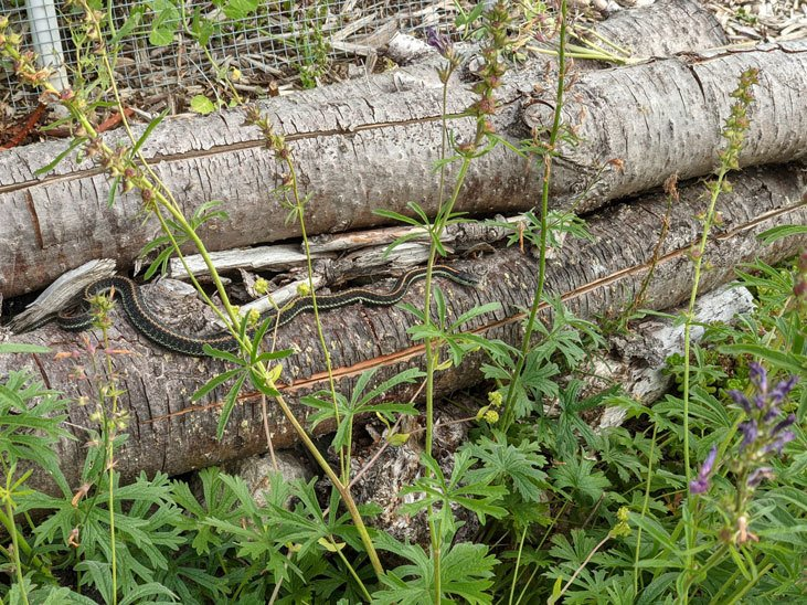 Control garden pests with predators like garter snakes