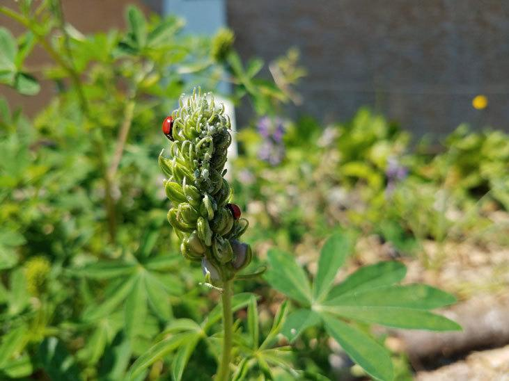 Control garden pests with predators like ladybugs