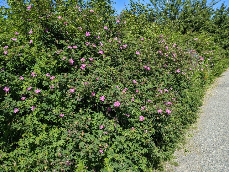 Plant a hedgerow by using fast growing native plants like Nootka rose