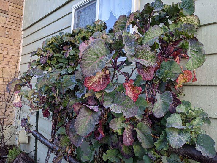What are purple tree collards