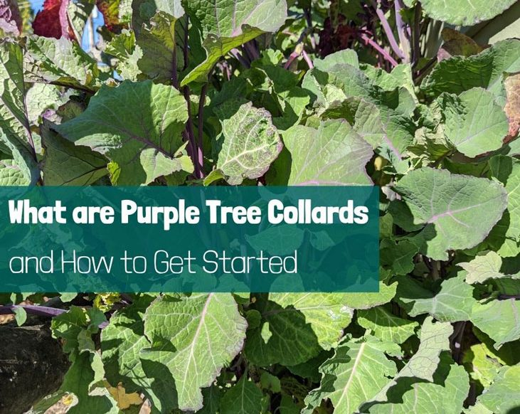 what are purple tree collards--a fantastic perennial vegetable