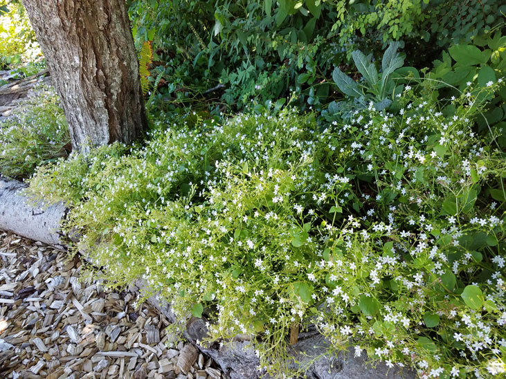 grow miners lettuce as a ground cover