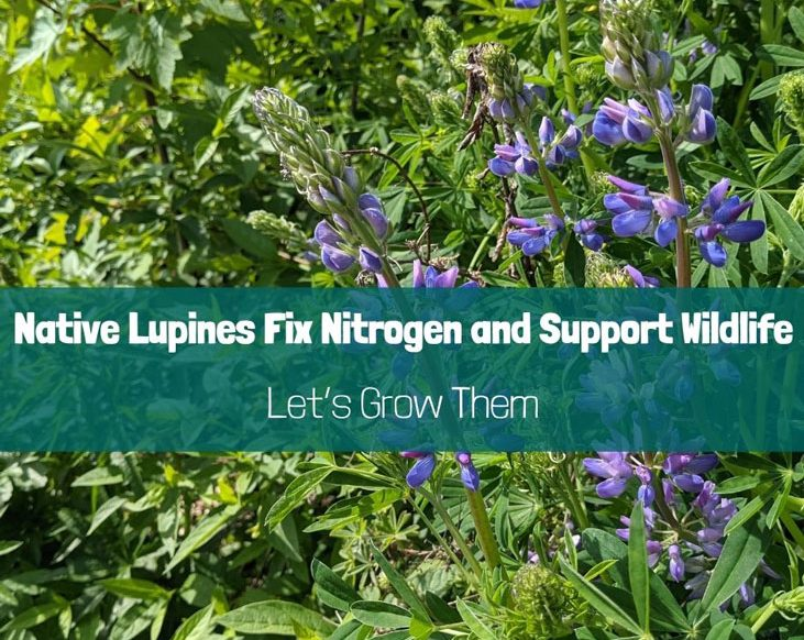 Native lupines will help you cultivate abundance