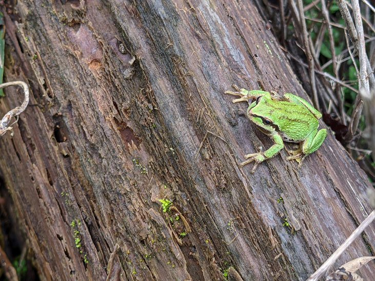 Keep your fall leaves to support wildlife like frogs